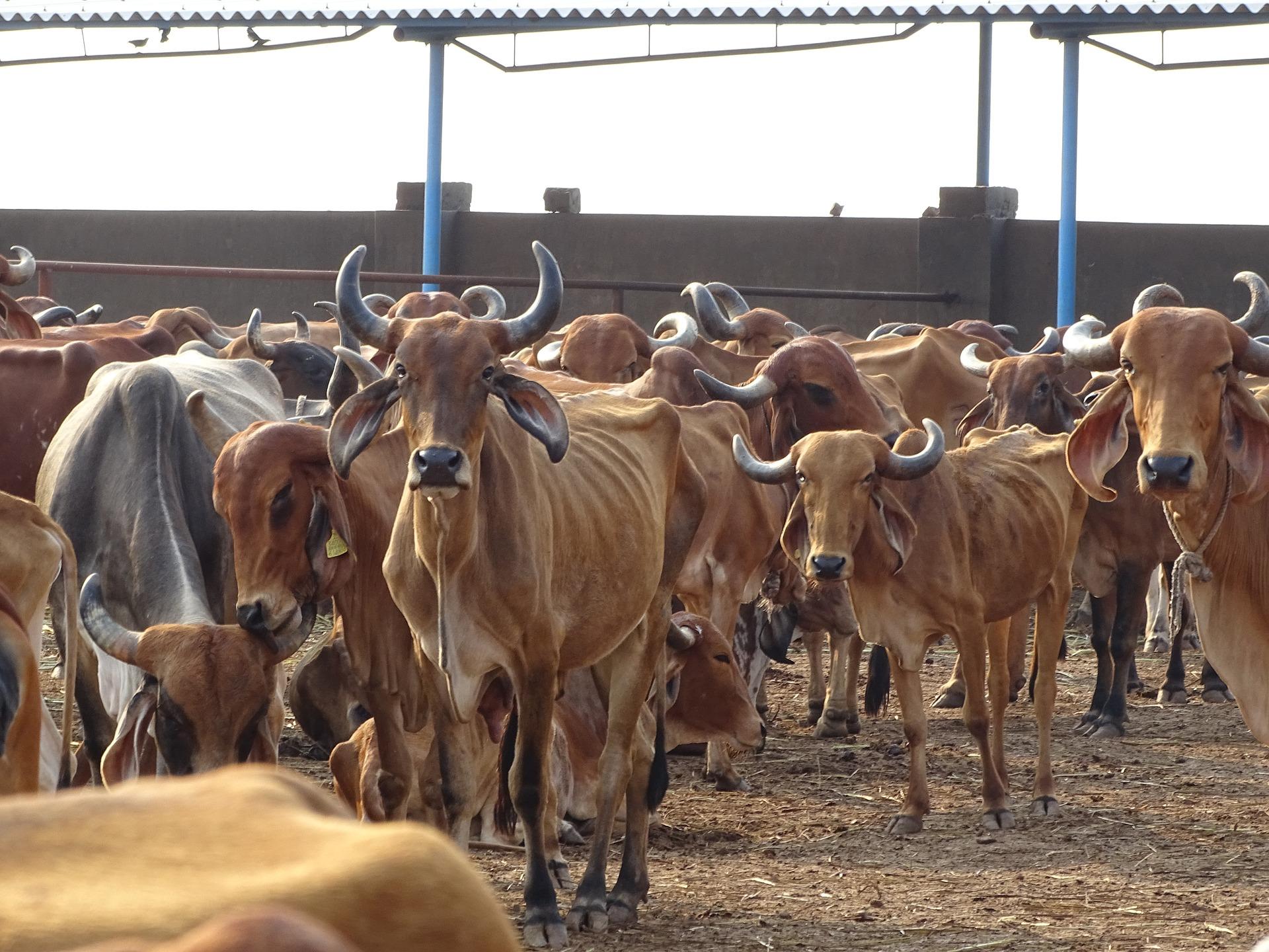 Cow Information in Marathi 2021 गायची माहिती