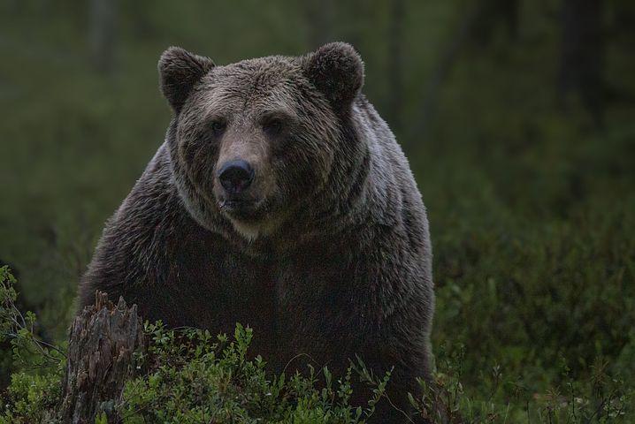 अस्वल बद्दल रोचक माहिती Amazing Fact about Bear Aswal in Marathi